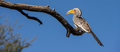 Südlicher Gelbschnabeltoko (Southern Yellow-billed Hornbill) (jameshjschwarz) Tags: africa afrika bird hornbill lumixgvario4056100300 lumixgh2 m43 mft namibia safari toko vogel erongo na