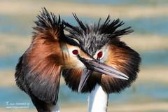 Grébe huppé - 6908 (Luc TORRES) Tags: annecy auvergnerhônealpes faune france grèbehuppé hautesavoie lacdannecy nature oiseaux palmipède pays grébehuppé lacdubourget palmipéde imagespassionfr