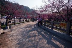 D68_4001 (brook1979) Tags: 台灣 台中 泰安 警察局 櫻花 春天 花季 粉 紫 taiwan taichung flower sakura 八重櫻
