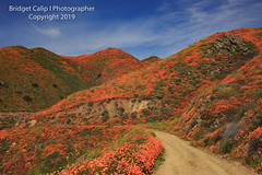Recreational Hiking Trail Through Superbloom of California Poppies in Walker Canyon, Lake Elsinore, California (Bridget Calip - Alluring Images) Tags: 2019 alluringimagescolorado bridgetcalip california californiapoppies lakestreet riversidecounty scenicbyway superbloom usa walkercanyon allrightsreserved beautiful bloom blueskies botanical clouds copyrighted dramaticclouds field flora flower hiking hill landscape meadow orange outdoor plant poppyapocalypse poppygeddon recreation rollinghills sky southerncalifornia spring sunny touristattraction travel vibrant wild wildflowers