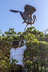Michael Bonta Cutting Fishing Line Off the Leg of a Nesting Great Blue Heron with 2 Chicks (dbadair) Tags: outdoor nesting gbh nature wildlife 7dm2 ef100400mm ocean canon florida bird