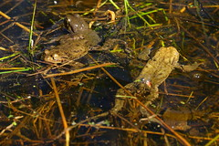 DSC02869 - Toads (steve R J) Tags: toads anglesey abbey cambridgeshire british amphibian