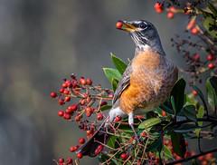 Good Morning Robin (alicecahill) Tags: ca california usa wild wildlife ©alicecahill sanluisobispocounty bird toyon slocounty berry robin americanrobin morrobay animal