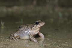 Discoglossus galganoi (Fernando_Iglesias) Tags: herping herps iberian amphibians anfíbios frogs