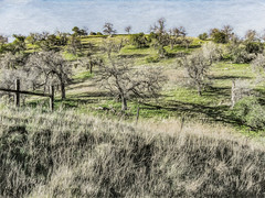 Numerous Nap Trees (p) (davidseibold) Tags: america barbedwirefence california fence grass jfflickr kerncounty oak photosbydavid plant postedonello postedonflickr rancheriaroad sky tree unitedstates usa bakersfield