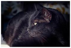 Pepe (Pepenera) Tags: blackbeauty cat cats gatto gato gatti black blackcat