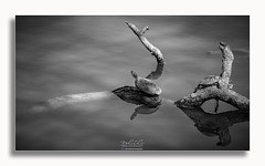 Turtles (Rohit KC Photography) Tags: wildlife wildlifephotography turtle branch water blackandwhite bw canon canon5dmarkii rohitkcphotography reflection beautiful classic outdoors ca california fun photo photography framed lightroom nepali nepaliphotographer photoshoot photooftheday nature