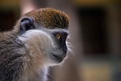 Vervet Monkey (Rod Waddington) Tags: africa african afrique afrika äthiopien ethiopia ethiopian etiopia vervet monkey wildlife wild animal portrait nature chlorocebus