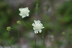 Scabiosa bipinnata Lago-Naki July 2018 (Aidehua2013) Tags: scabiosa bipinnata dipsacaceae dipsacales flower plant lagonaki adygea maikopdistrict caucasus russia