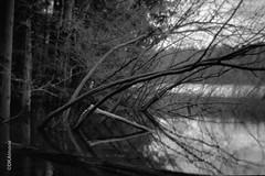Trees Over Water, Bonita Lake (http://www.aimonephoto.com) Tags: bencinikoroll24s blackwhite kodakhc100b mediumformat film fujiacros100 halfframemediumformat monochrome safe
