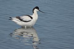 _SON0149JPG Flickr (nomaRags) Tags: avoceta recunvirostra avosetta avocet spain españa villafafila villafáfila bird pájaro pajaro sony ilce9 a9 100400gm duplicador 14x