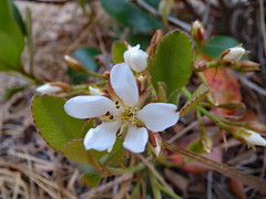 Blossom On An Indian Hawthorn Plant. (dccradio) Tags: lumberton nc northcarolina robesoncounty outdoor outdoors outside nature natural flower floral flowers indianhawthorn plant foliage greenery leaf leaves bud budding buds blossom blossoms blossoming canon powershot elph 520hs pinestraw pineneedle pinebedding march spring springtime tuesday tuesdayevening evening goodevening