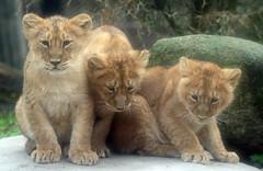 asiatic lion Blijdorp 094A1107 (j.a.kok) Tags: animal asia azie asiaticlion aziatischeleeuw blijdorp mammal zoogdier dier predator leeuw lion pantheraleopersica