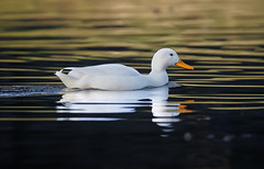 a White Duck swimming in sunset light (Franck Zumella) Tags: white duck canard blanc bird oiseau nature animal wildlife lake lac water eau orange sunset coucher soleil sun color couleur reflection reflexion cute mignon golden hour toy winter hiver alone seul lonely unique night nuit light lumiere mirror miroir contrast contraste noir black