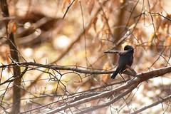 Dark-Eyed Junco (brandon_gerringer) Tags: darkeyedjunco bird birdphotography bokeh nature naturephotography wildlife wildlifephotography orange juncohyemalis
