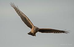 ND5_0026 Northern Harrier Hawk (Wayne Duke 76) Tags: