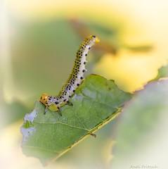Caterpillar (Andi Fritzsch) Tags: caterpillar insect insecphotography nature naturephotography macro macrophotography closeup insectphotography coth5