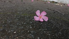20181130_084929 (Feralysa) Tags: flor flower rosa hibisco natureza