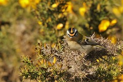Firecrest   (Regulus ignicapilla). A great place to hide (GrahamParryWildlife) Tags: firecrest dungeness rspb kent uk tiny small grahamparrywildlife crest yellow orange sigma 150600 sport canon 7d mk2 bird tree food macro animal outdoor songbird viewing photo flickr add flower plant