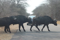 Buffalo Herd crossing the Road (Rckr88) Tags: buffalo herd crossing road buffaloherdcrossingtheroad krugernationalpark southafrica kruger national park south africa buffalos buffaloes animals animal roads nature naturalworld outdoors wildlife