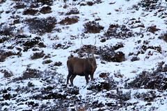 IMG_5312 (monika.carrie) Tags: reddeer monikacarrie wildlife scotland aberdeenshire royaldeeside