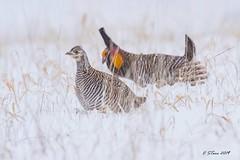 IMG_6264 prairie chickens (starc283) Tags: starc283 prairie bird birding birds canon 7d chicken chickens lek dance nature natures finest watcher nebraska
