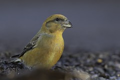Crossbill, male (Thomas Winstone) Tags: england uk beak bill puddle drink water feathers feather thomaswinstonephotography forestry forest canon1dx2 canon bbcspringwatch birds bird avian ave aves crossbill