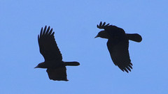 Crows (blazer8696) Tags: 2019 amcr american americancrow brookfield corbra corvidae ct connecticut corvus corvusbrachyrhynchos ecw obtusehill passeriformes t2019 tabledeck usa unitedstates bird brachyrhynchos crow img4885