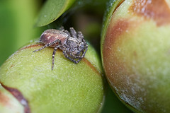 Crab spider on camellia flower bud (Lord V) Tags: macro bug spider crabspider