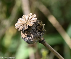 Remembrance fades (Katy Wrathall) Tags: corruption change spring england eastyorkshire lifecycle 104365 garden seasons rebirth seedhead poppy eastriding death 2019pad 2019 time april