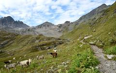 Flüela Schwarzhorn (3.146 m) (Begoña Fernández) Tags: suitza suiza switzerland suisse schweiz svizzera svizra grisonia grisones grisons graubünden grigioni grischun engadina engiadina engadin flüelaschwarzhorn albulaalps albulaalpen albula flüelapass alpeak alpes alps alpen paisaia paisaje landscape paysage mendiak montañas mountains montagnes harana valle valley vallée ardiak ovejas sheep brebis belardia pradera meadow bidea camino path chemin