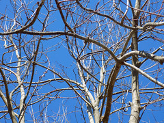 Tree Branches And Blue Sky. (dccradio) Tags: lumberton nc northcarolina robesoncounty outdoor outdoors outside february winter afternoon saturday saturdayafternoon goodafternoon nikon coolpix l340 bridgecamera nature natural tree trees branch branches treebranch treebranches treelimb treelimbs sky bluesky