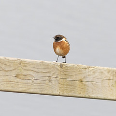 334 (robwiddowson) Tags: stonechat bird birds nature wildlife robertwiddowson photography images art