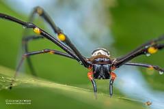 Golden orb weaver (Nephila pilipes) - DSC_0158 (nickybay) Tags: sungeibuloh sungeibulohwetlandreserve singapore macro nephila pilipes nephilidae golden orb weaver spider