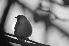 stiglic (vegeta25) Tags: blackandwhite goldfinch tengelic madár bird garden bw stiglic cardueliscarduelis europeangoldfinch animal állat természet mothernatureatherbest myfuji