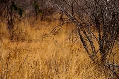 Where's Waldo / Où est Charlie ? (Nugohs1) Tags: lion kruger africa southafrica afriquedusud sanpark bush hidden nature wild camouflage