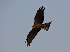The Black Kite (Milvus migrans) (Sriini) Tags: black kite mediumsized prey raptors milvus migrans sundaylights coth coth5