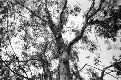 Tree branches (Matthew Paul Argall) Tags: kodakstar500af autofocus 35mmfilm ilforddelta100 100isofilm blackandwhite blackandwhitefilm treebranches tree