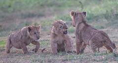 Back Off Boogaloo (Kitty Kono) Tags: lioncubs ngoronongorocrater kittyrileykono tanzania cats