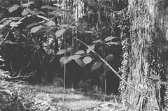Spiky weed (Matthew Paul Argall) Tags: beirettevsn manualfocus 35mmfilm kentmere100 100isofilm blackandwhite blackandwhitefilm plant plants weeds