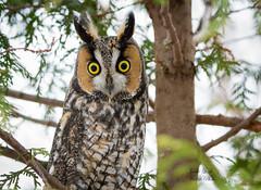 Long Eared Owl (Jamie Lenh Photography) Tags: nature wildlife birds owls longearedowl nikon tamron jamielenh