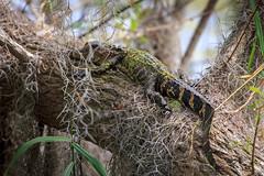 Gator Up A Tree (Robert F. Carter) Tags: alligator alligators cbbr circlebbarreserve lakeland florida wildlife spanishmoss gator gators