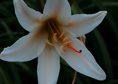 Single Lily Macro (Noel C. Hankamer) Tags: lily blossom nature garden floral flower bloom beautiful spring pink petal color beauty blooming white oriental bud tropical flora botany asparagaceae lilium