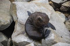 New Zealand Fur Seals, Narooma, NSW (Stuart-Cohen) Tags: newzealandfurseal longnosedfurseal narooma eurobodallacoast nature wildlife seals breakwall