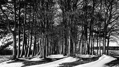 snow-blown trees (Redheadwondering) Tags: sonyα7ii salisburyplain wiltshire winter snow tokina2035mmlens tokina trees blackwhite bw