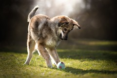 Zeus 2 (Christina Draper) Tags: puppy rescue canine caninephotography dog playful