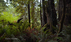 Regeneration (dylanawol66) Tags: forest nature lush jungle jurassic dinosaur trees redwood light color green ferns undergrowth usa california lostcoast