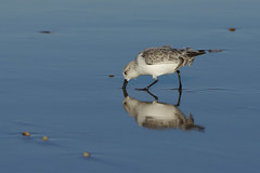 K32P0189c Sanderling, Titchwell Beach, November 2018 (bobchappell55) Tags: titchwell norfolk wild bird wildlife nature sanderling beach wader calidrisalba