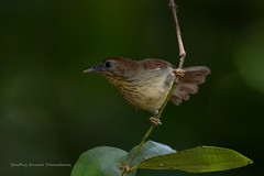 Pin-striped tit-babbler (Macronus gularis) (My Shutter World) Tags: babbler birds birdphotography nature naturephotography nationalgeographic