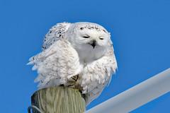 Ookpik -----   Harfang des neiges ----- Snowy owl ----- Búho del Ártico (Jacques Sauvé) Tags: harfang des neiges snowy owl búho del ártico aéroport de sthubert longueuil québec canada ookpik